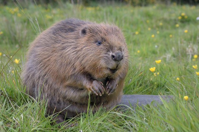 Nottinghamshire Wildlife Trust is one step closer to bringing beavers back to the county for the first time in 400 years.