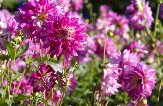 Dahlias are a popular choice with gardeners, thanks to their warm, vibrant colours.