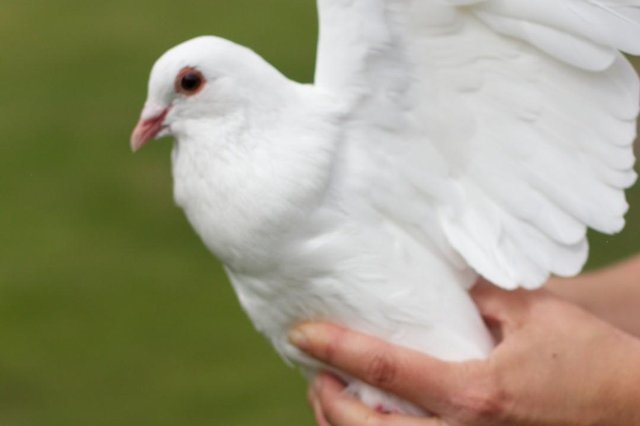 AW Lymn is allowed to release doves at funeral again