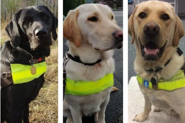 More volunteer carer homes are still needed for trainee guide dogs