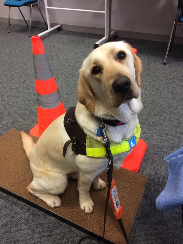 Would you like to take care of a guide dog?